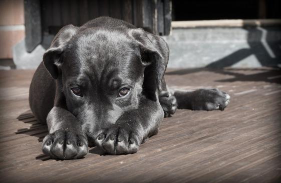 shy gray dog