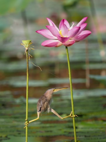 in a swamp a small bird balances between two plant stalks with one foot clutching each plant